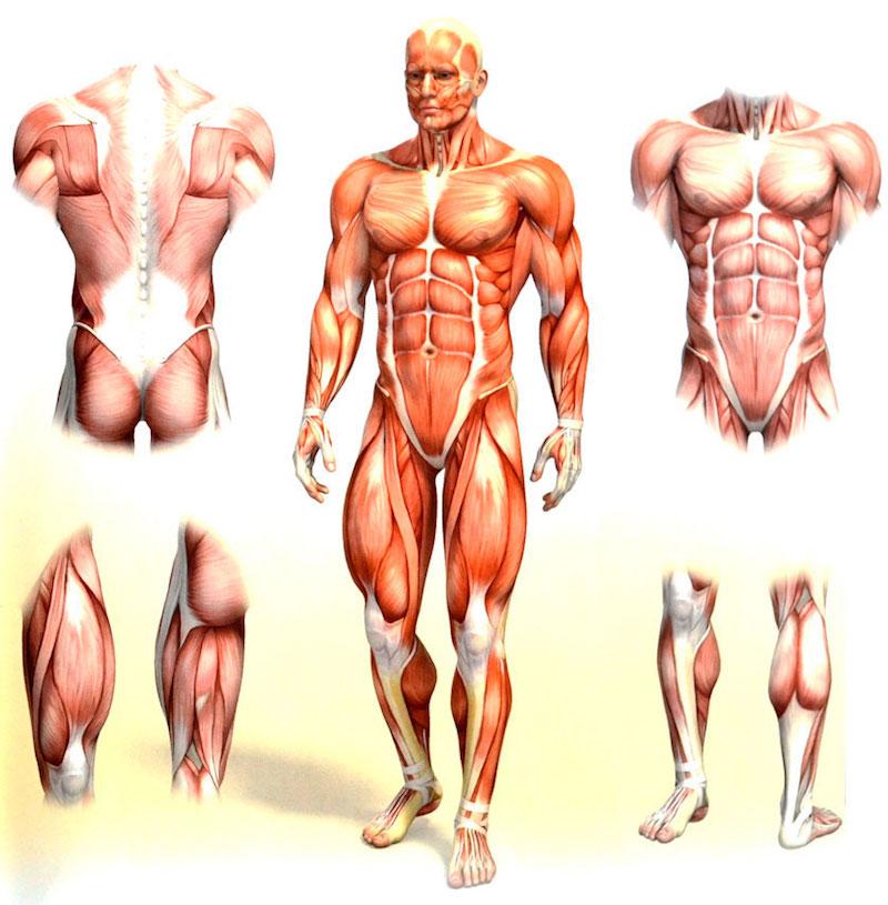 Обзор всех мышечных групп для качественных тренировок