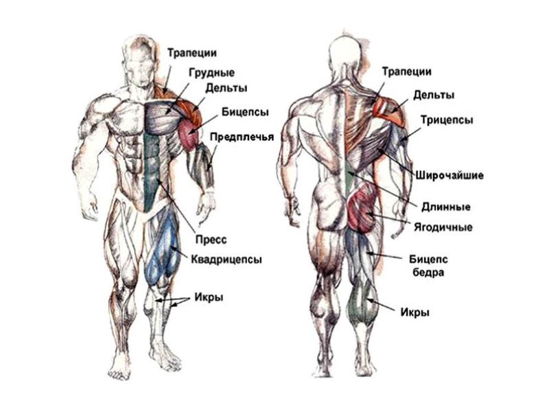 Знай свое тело – детальный обзор всех мышечных групп для качественных тренировок